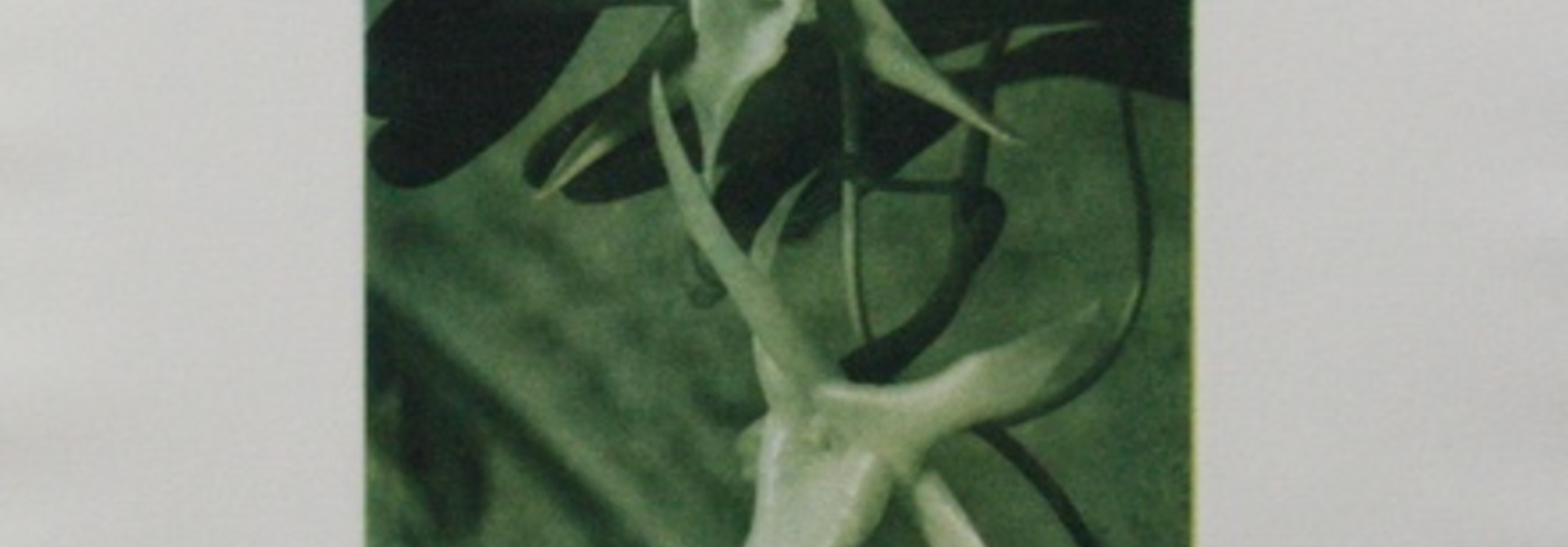 Angraecum Sesquipidace 1