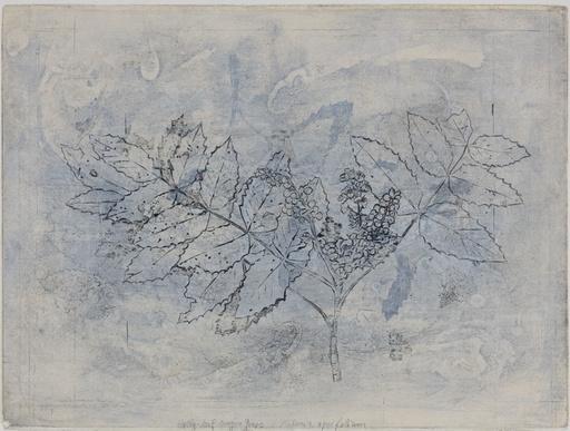 Holly-leaf Oregon Grape-1