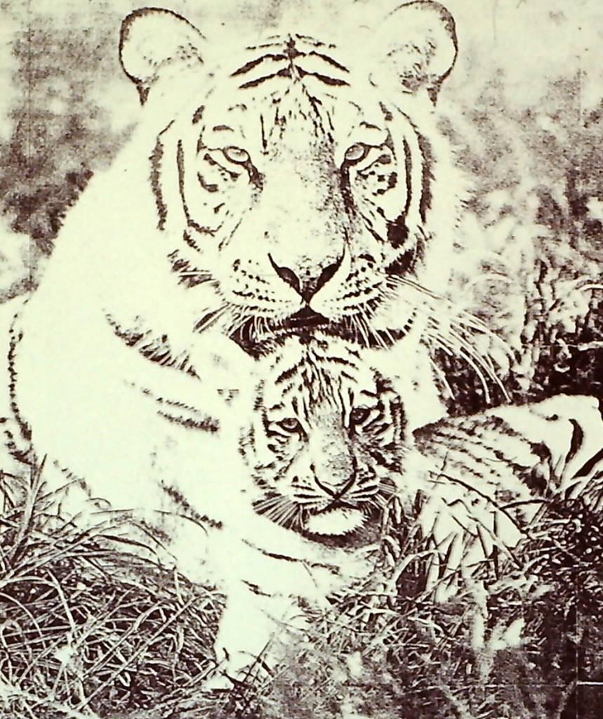 Black & White Tigers-1