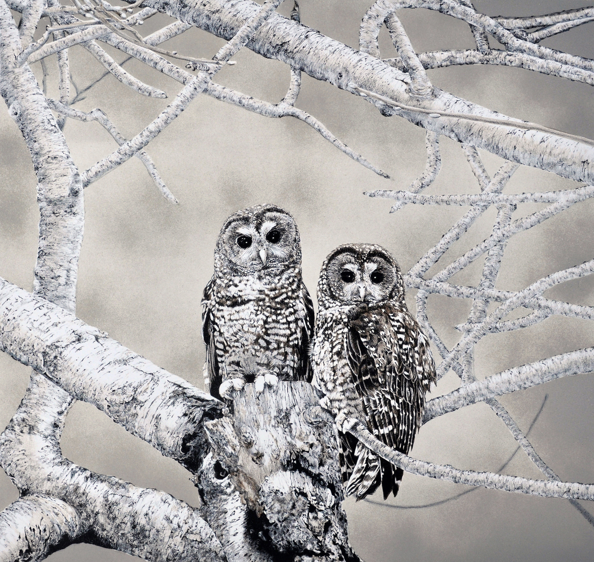 Spotted Owls-1