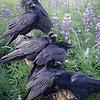 1000 - Raven Rendezvous