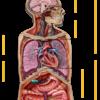 500 - Dr. Livingston's Anatomy Jigsaw Puzzles: Volume II - The Human Thorax
