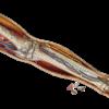 884 - Dr. Livingston's Anatomy Jigsaw Puzzles Volume VII - Human Left Leg