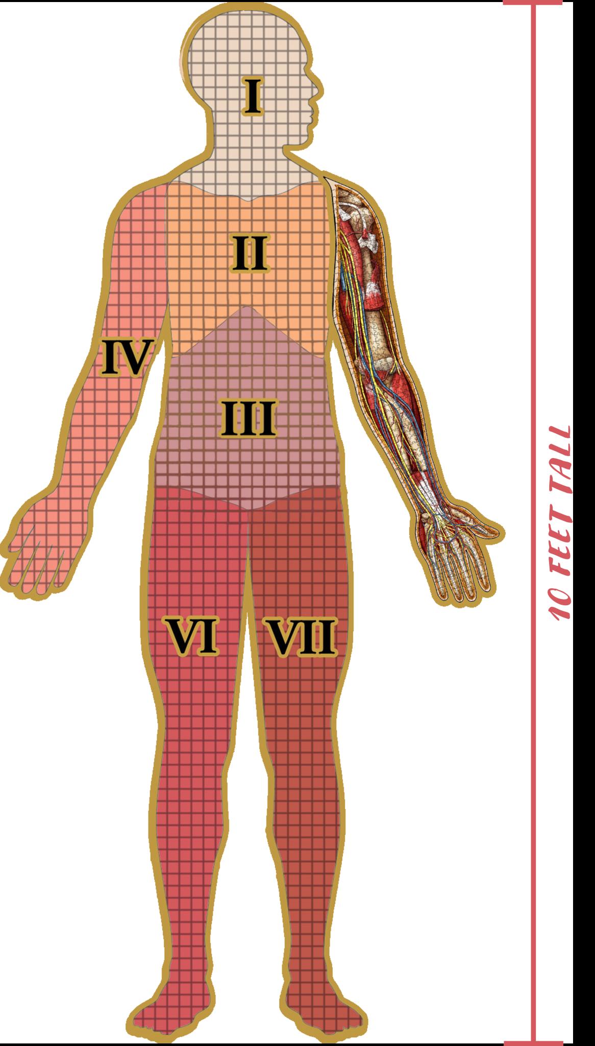 479 - Dr. Livingston's Anatomy Jigsaw Puzzles Volume V - Human Left Arm