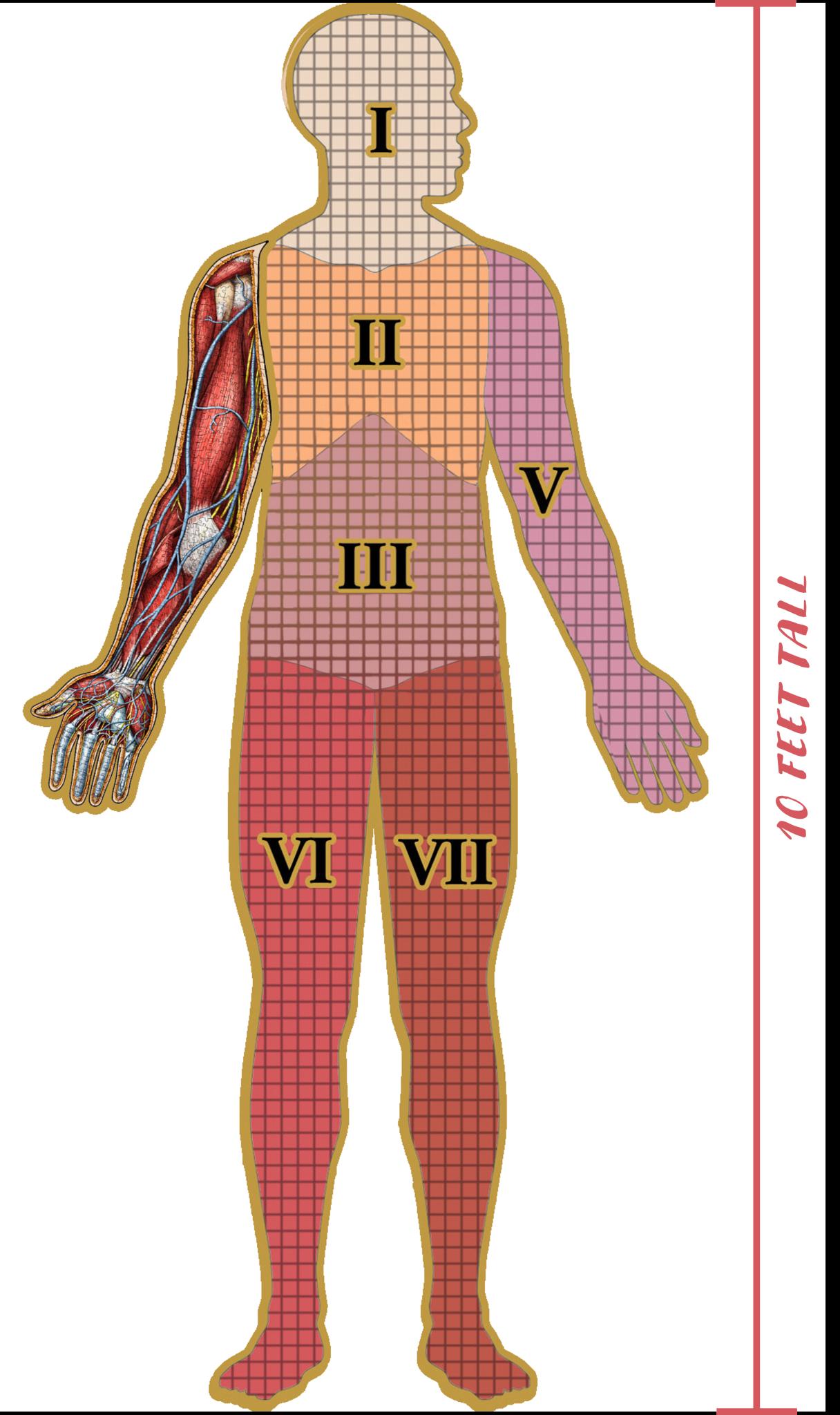498 - Dr. Livingston's Anatomy Jigsaw Puzzles Volume IV - Human Right Arm
