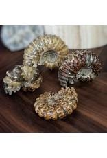 Agatized Douvilleiceras Ammonite