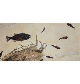 Mioplosus, Knightia, Diplomystus Fish with Palm Root Eocene Wyoming