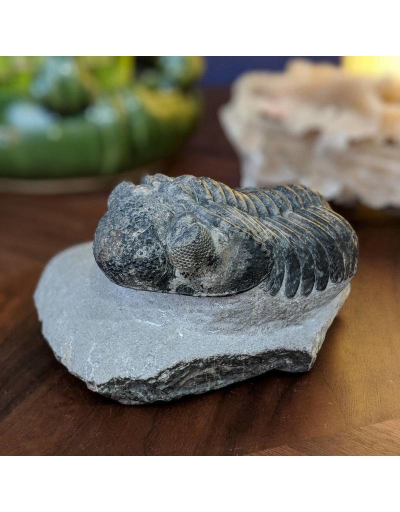 Drotops megalomanicus Trilobite 11x7x3cm