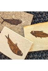 Knightia eocaena Fossil Fish Eocene Wyoming