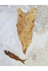 Eocene Mioplosus and Banana Leaf 347x249x37mm 3.4kg Wyoming