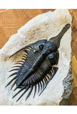 Psychopyge elegans Trilobite with Epifauna 235x150x73mm 2kg Devonian Morocco