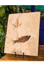Mioplosus and Nut Tree Leaf Eocene Wyoming