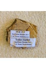 Todites muelleri Fern 49x39x10mm 23g Permian Germany