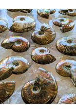 Fire Polished Ammonites Madagascar