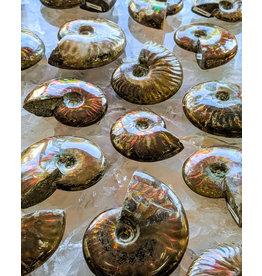 Norcross-Madagascar Fire Polished Ammonites Madagascar