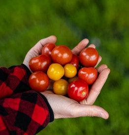 Jardins de la Pinède Tomates cerises couleur biologiques du Québec, Jardins de la pinède  (300gr environ)