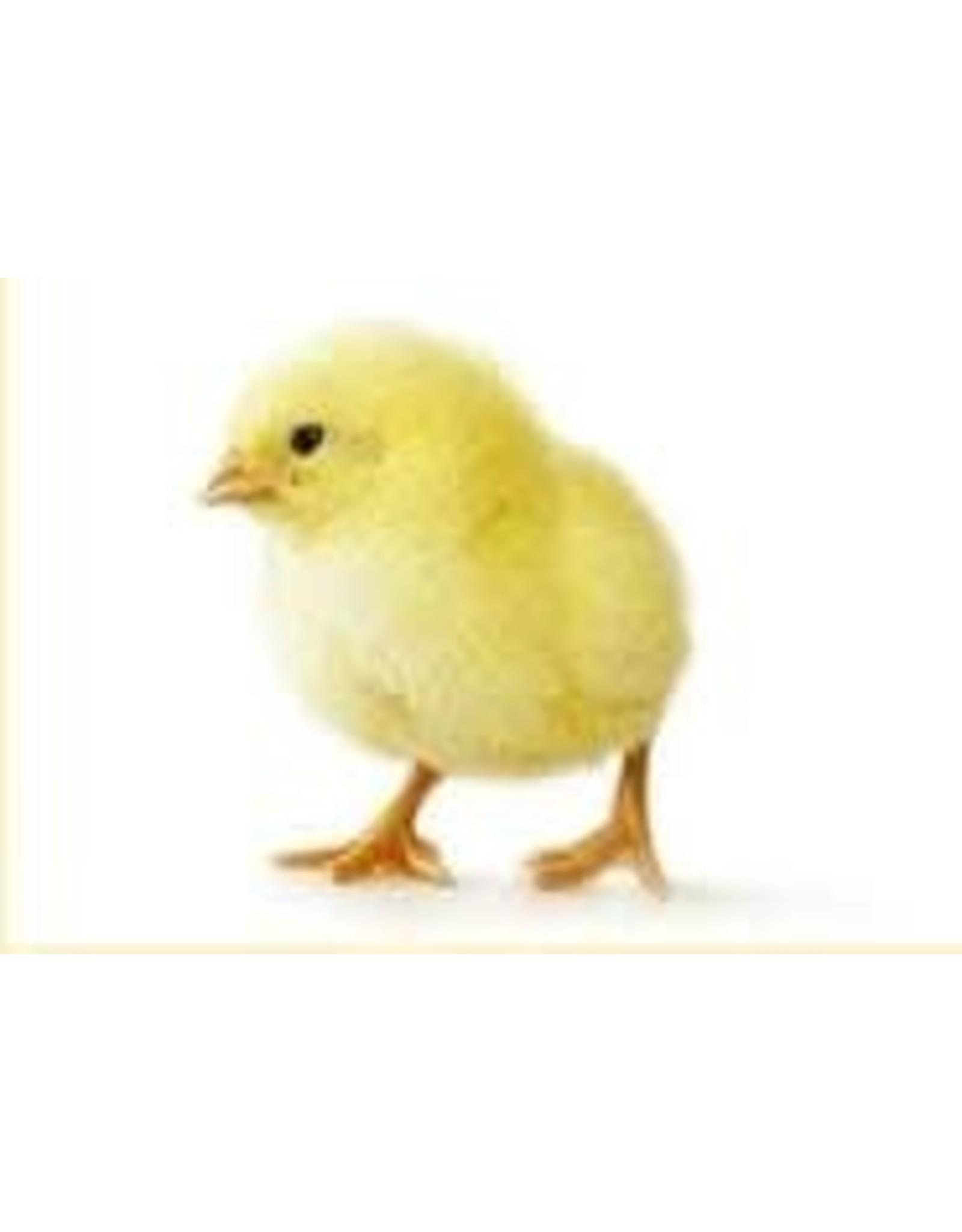 Couvoir Dumont poulet a chair 1 jour, mâle 20/05/20