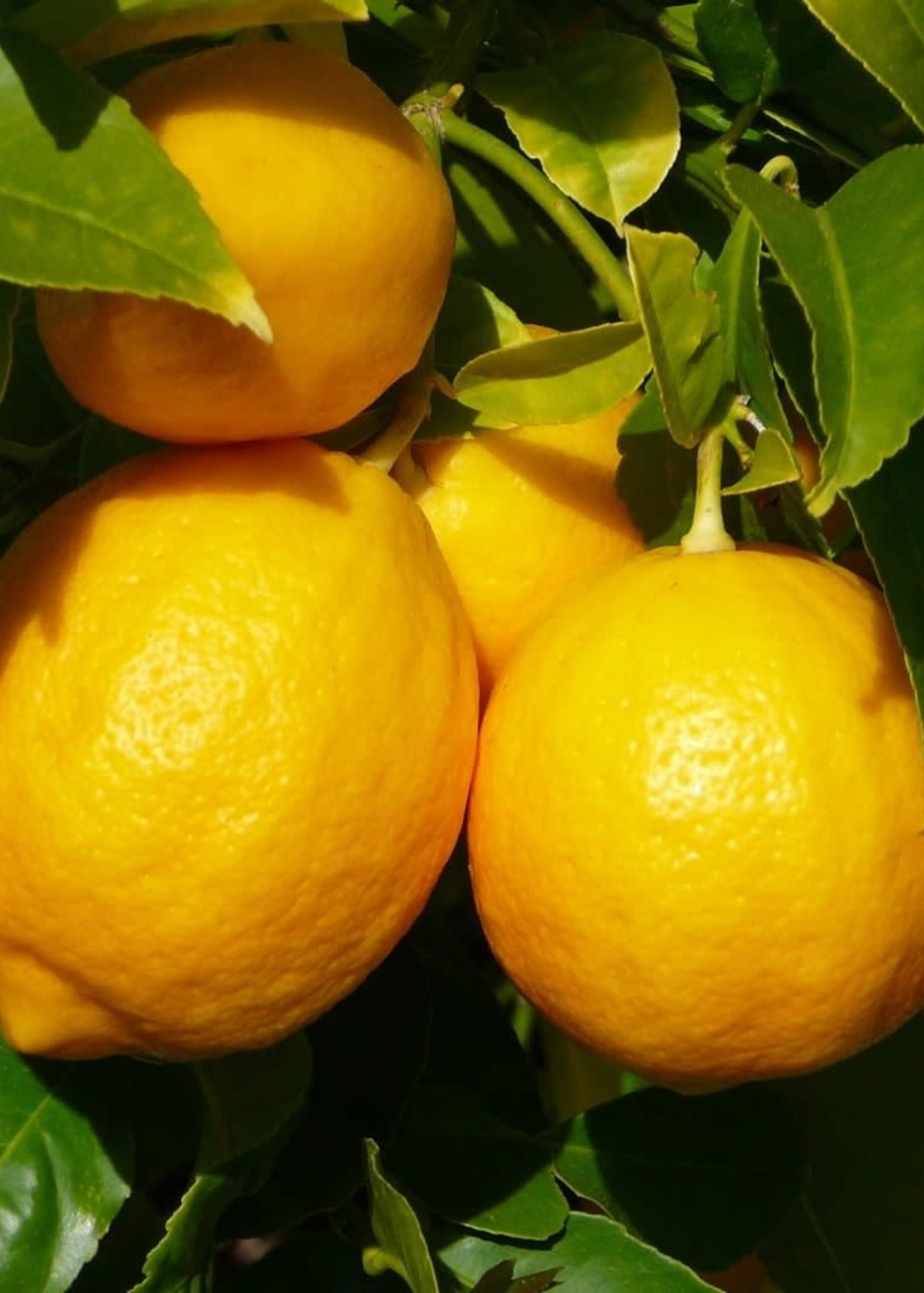 Zayat Huile essentielle citron jaune, biologique Mexique (11ml)