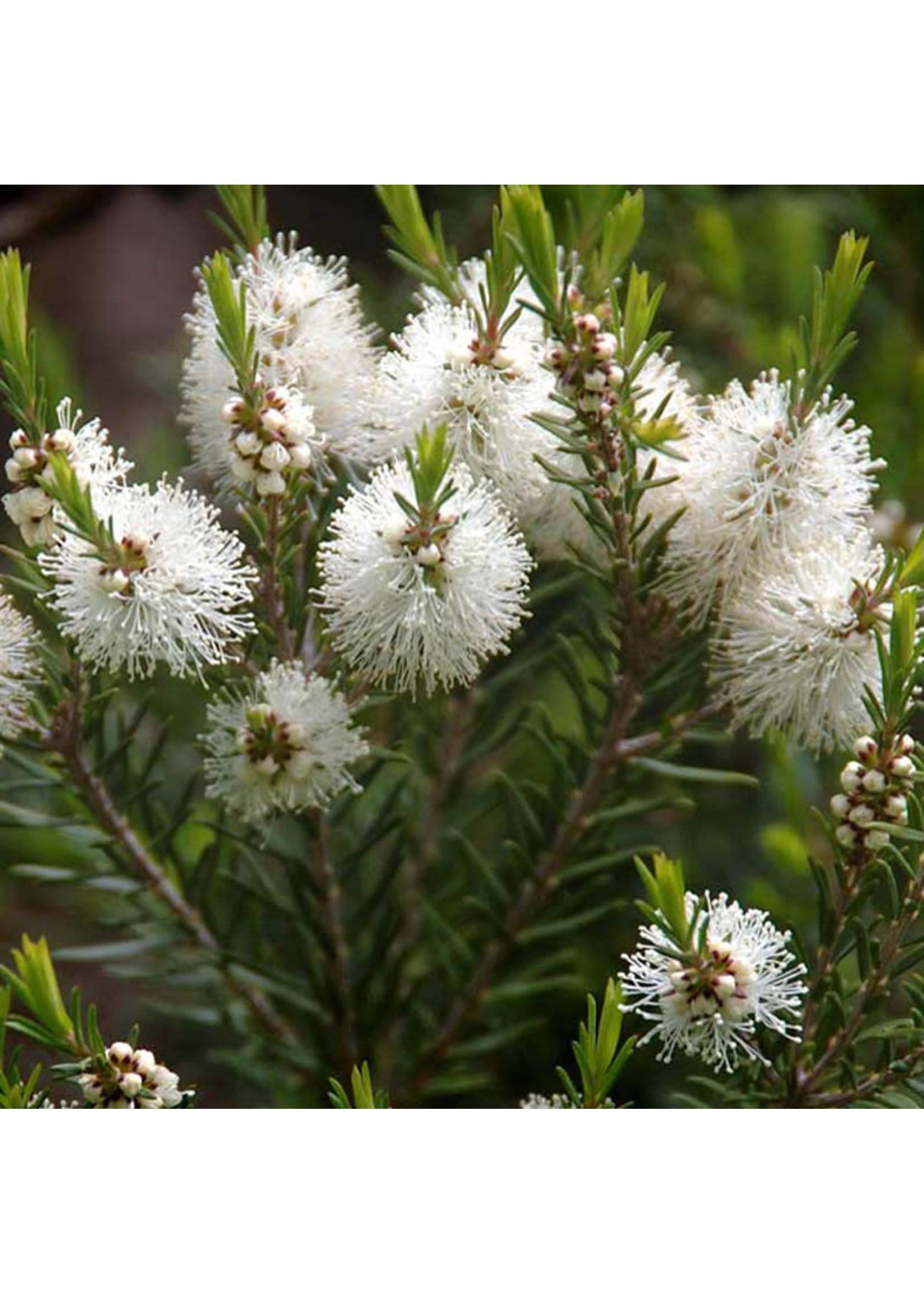 Zayat Huile essentielle de Tea Tree, biologique Australie (11ml)
