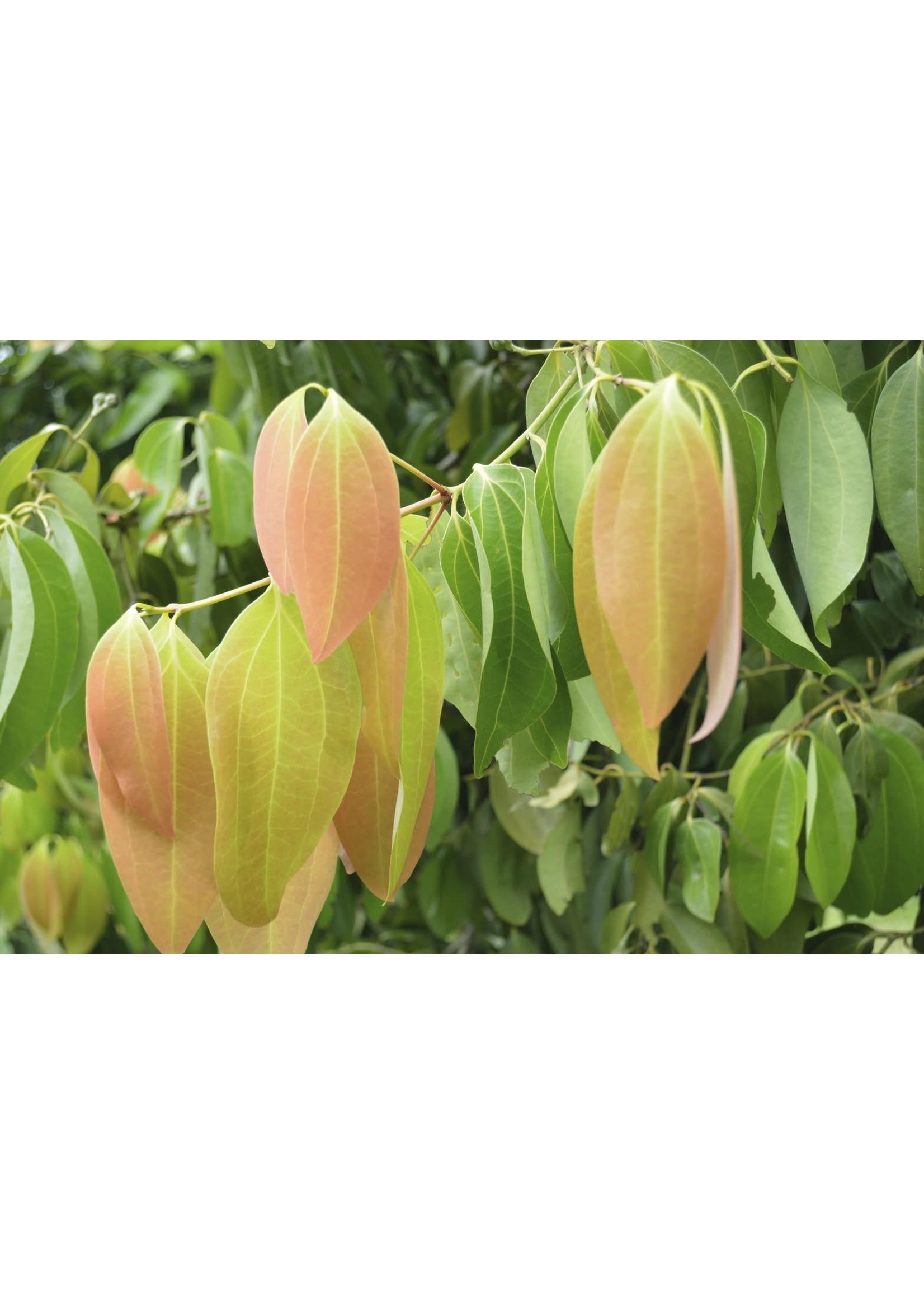 Zayat Huile essentielle, Canelle de Ceylan, feuilles, biologique Madagascar (11ml)