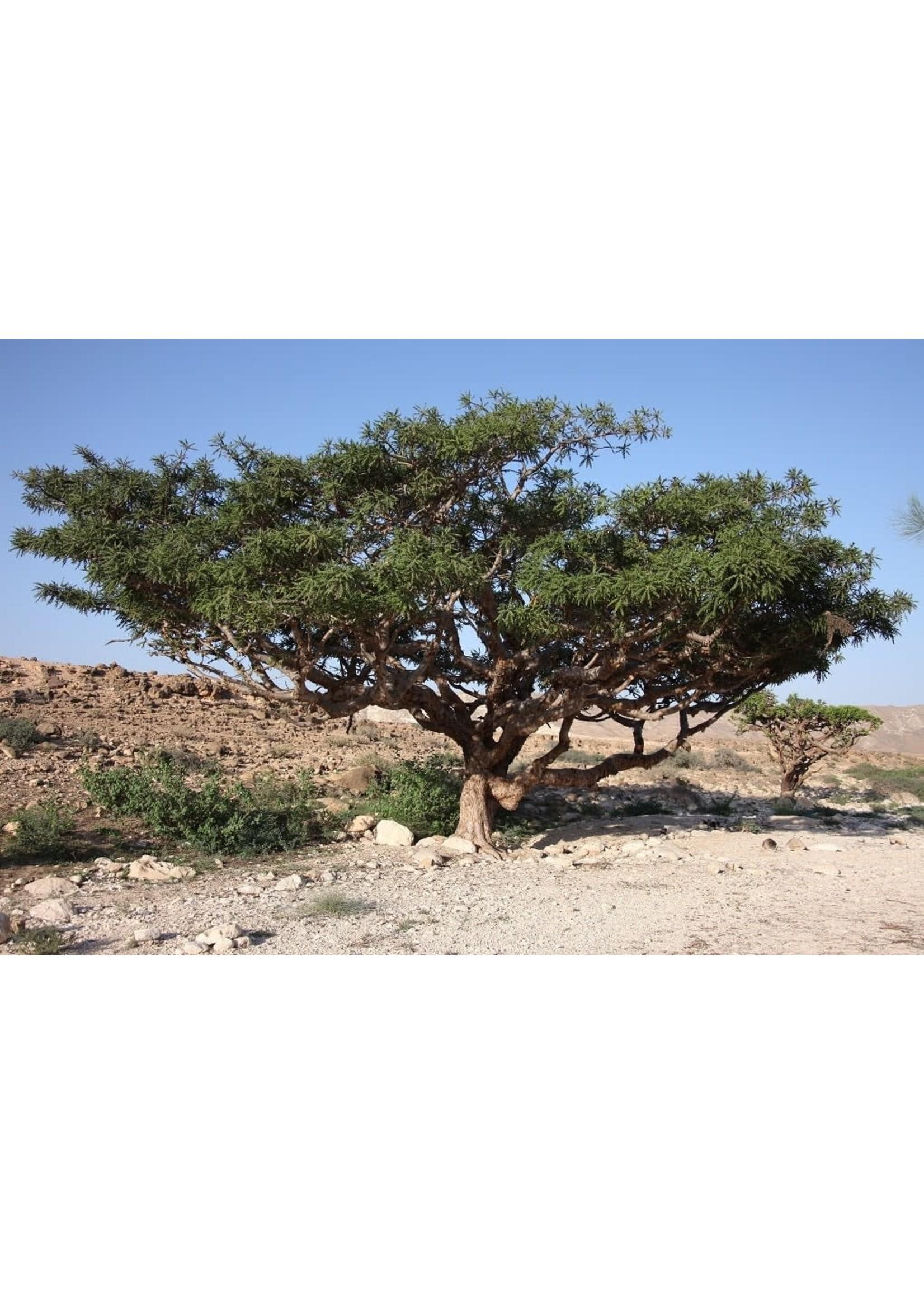 Zayat Huile essentielle, Encens Oliban, biologique Somalie (5ml)