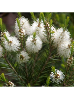 Zayat Huile essentielle , Tea tree,  biologique Australie (5ml)