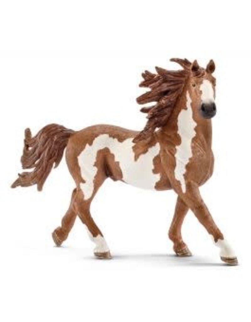 Pinto Stallion