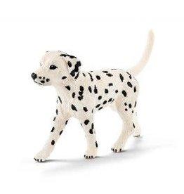 Dalmatian, male