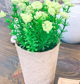 Blooming Plant in Paper Pot | Cream