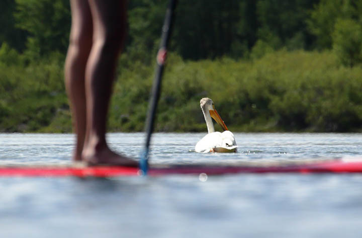 pelican and a sup