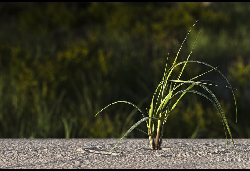 Dune Grass 2
