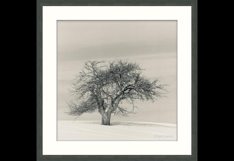 Sole (tree)