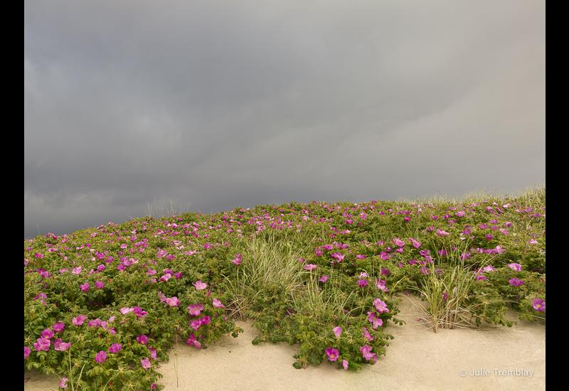 Dune Roses