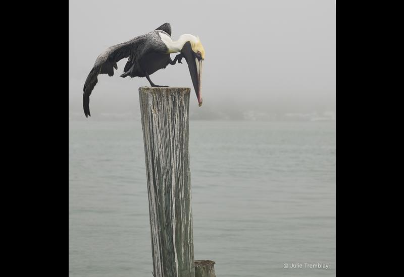 Pelican Scratch