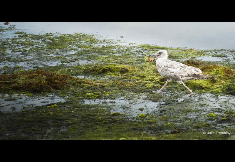 Sea Gull Crab
