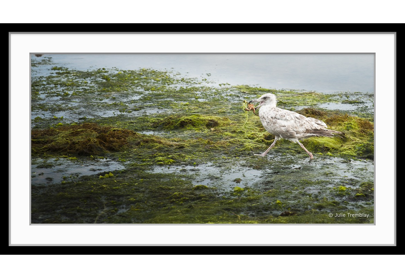 Sea Gull Crab