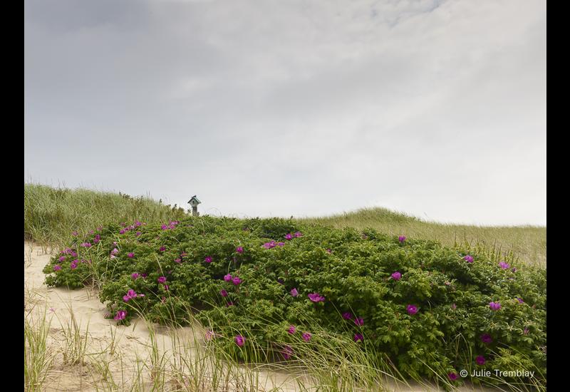 Dune Roses Swallow