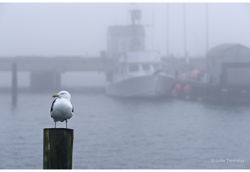 Harbor Gull