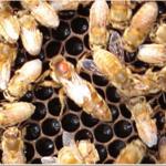 queen Marked Koehnen Cordovan Italian Queen Bee