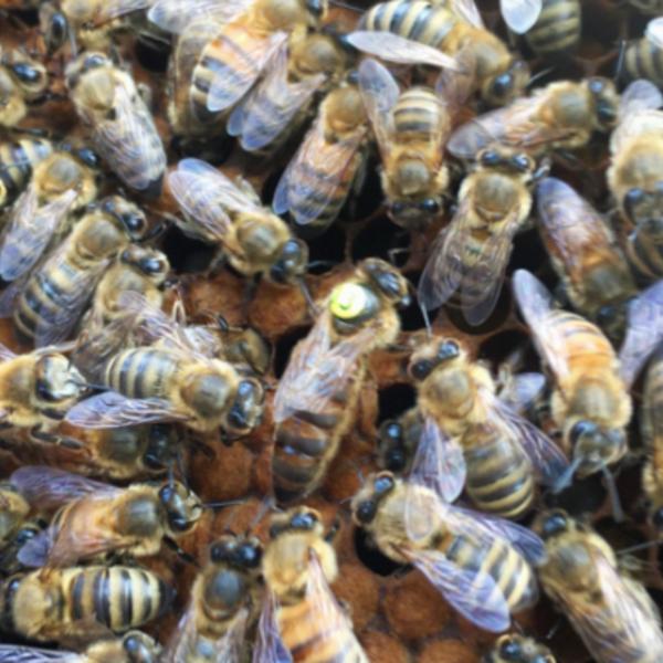 queen Marked Olivarez Saskatraz Queen Bee