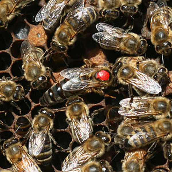 Bees Bee Package 3lb Carniolan - April 25th