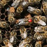 queen Marked Koehnen Carniolan Queen Bee