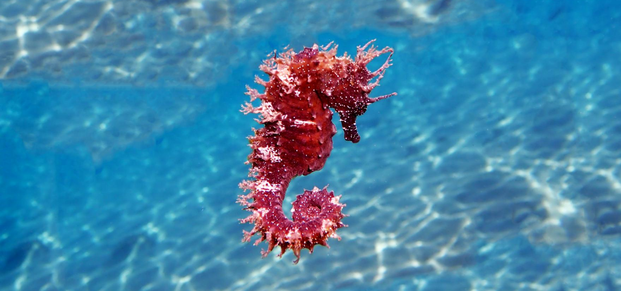 Everything Aquarium Enthusiasts Need to Know About Caring for a Seahorse