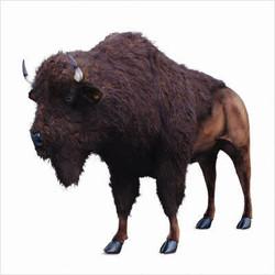 """Buffalo / Bison - Lifesize 96"""" x 72"""""""