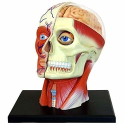 4D Vision - Human Head Anatomy Model