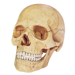 4D Human - Exploded Skull Anatomy