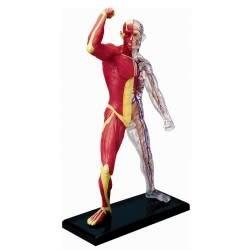 Human Muscle & Skeleton Anatomy Model