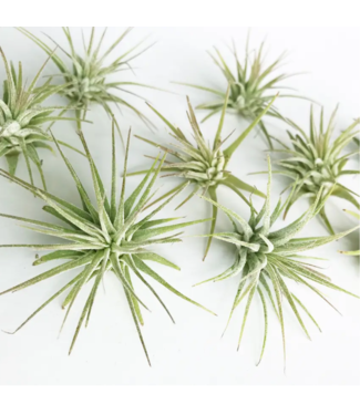 Medium Air Plants (Tillandsia Ionantha)