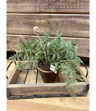 "15"" Aspidiaceae Fern in Brown Pot"