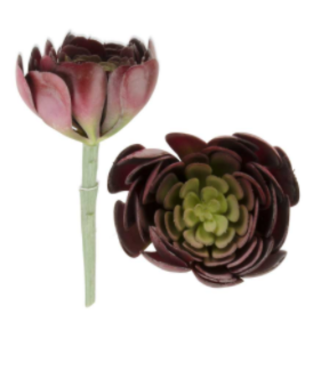 6.5 inch Burgundy Green Aeonium Succulent Stem